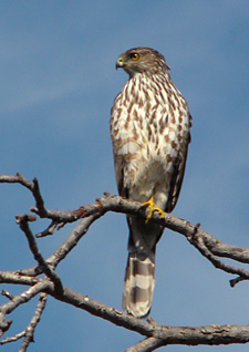 Coopers hawk, juvenile