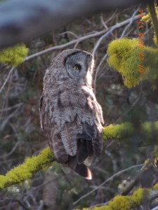 Great Grey Owl found in the high county of Yosemite National Park.