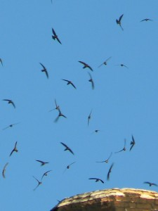 Vaux's Swifts and blue sky before dusk as they enter their evening roost.
