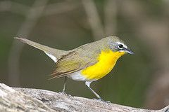 Yellow-brested Chat
