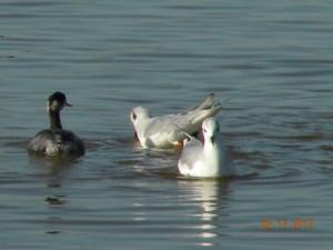 Bonaparte Gulls with Eared Grebe Lake Michigan