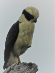 Laughing Falcon - Belize