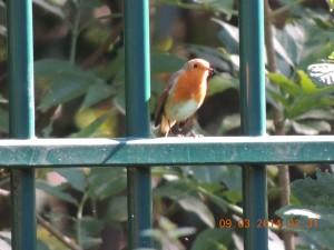 French Robin