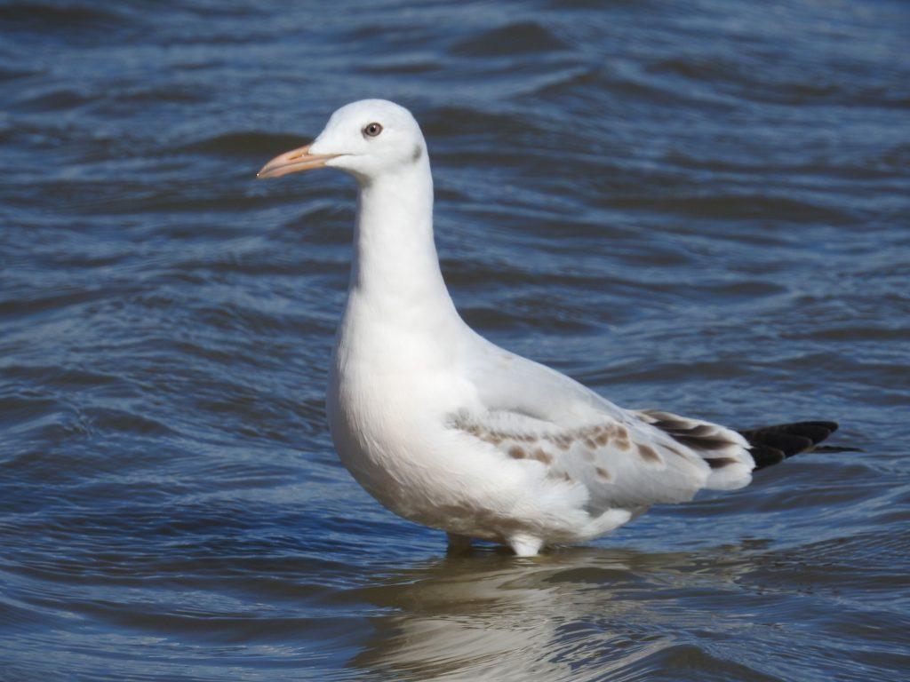 Slender-bill Gull