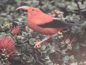 A species near extinction on Hawaii Islands.
