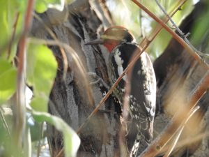 Red-napped Sapucker