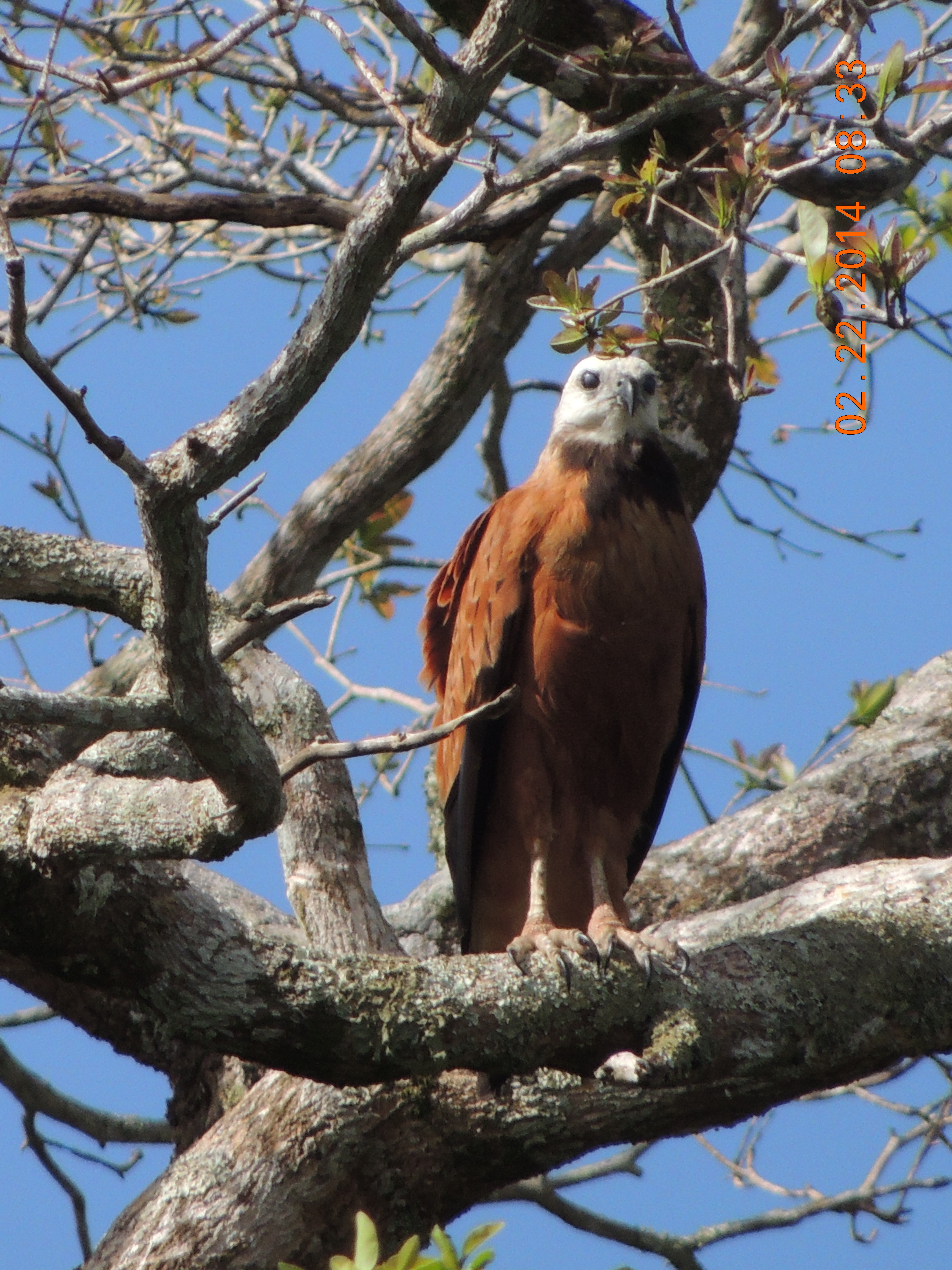 Black-collared Hawk Belize