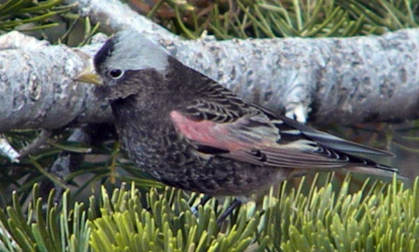 Gray-crown Rosy Finch