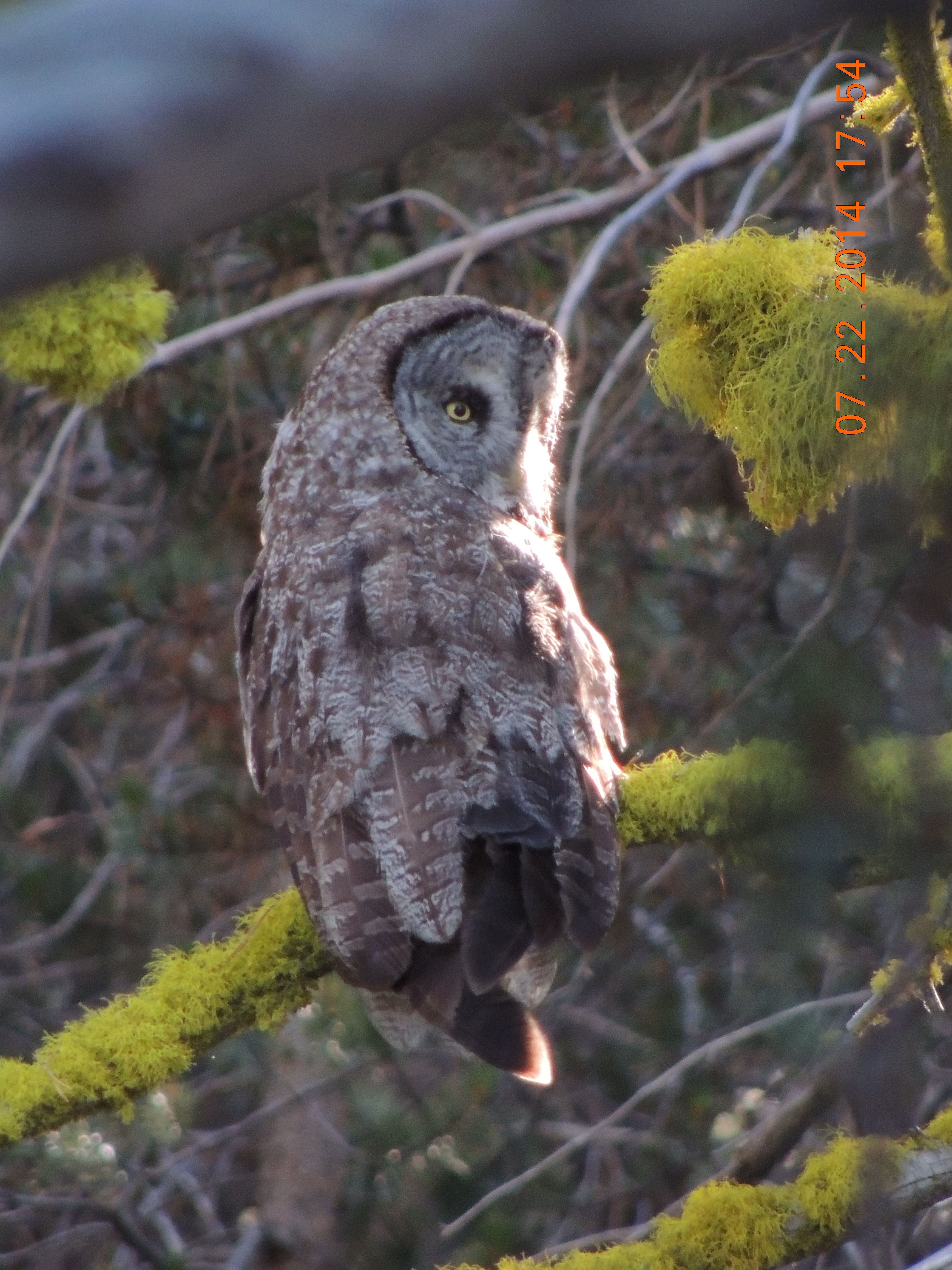 Great Gray Owl 7.22.14