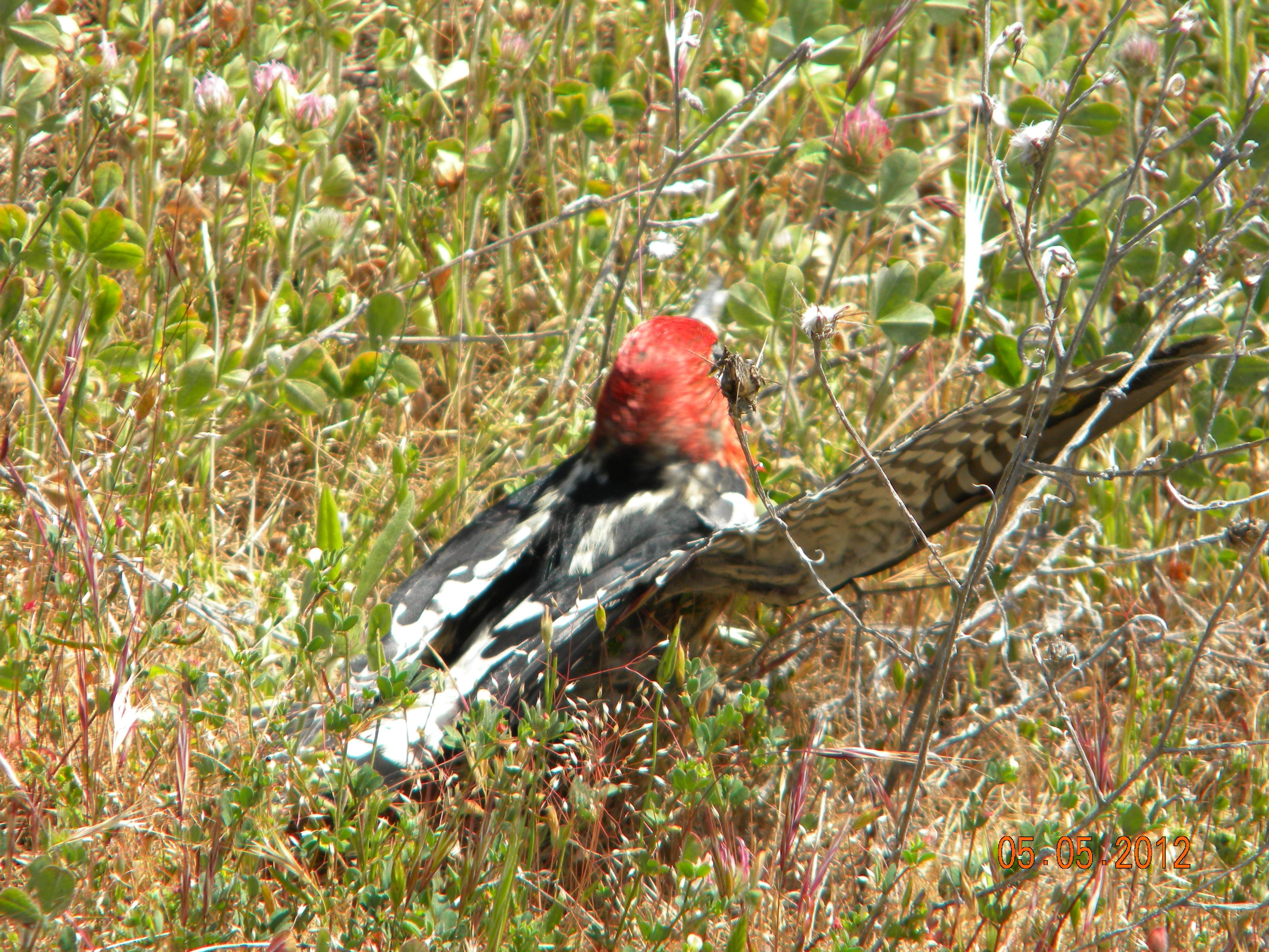 Red-breasted Sapsucker.DSCN3987