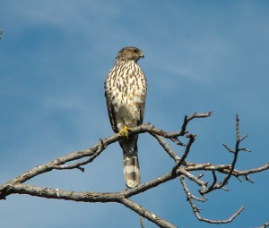 Coopers hawk