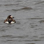 long-tailed-ducks