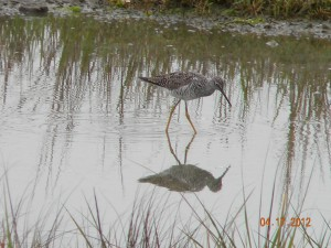 Greater Yellowlegs Niven Park mudflats.