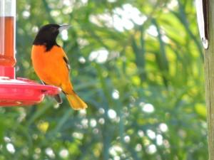 Wintering Balitmore Oriole Birds Eye View Lodge feeders