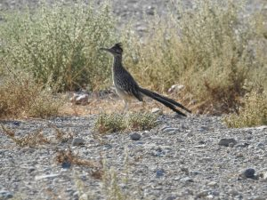Greater Roader Runner