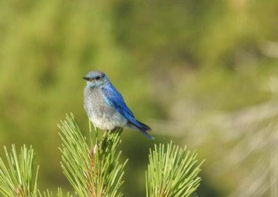 Mountain-Blue-Bird-400