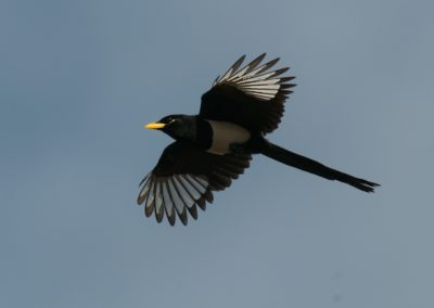 Yellowbilled Magpie