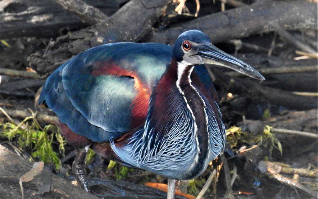 Agami Heron - Yellowbilled Tours